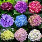 KIMIZA - 10+ HYDRANGEA MIX PERENNIAL FLOWER SEEDS / BLOOMS LAST 2 MONTHS