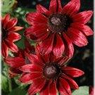 KIMIZA - NEW 50+ CHERRY BRANDY RUDBECKIA FLOWER SEEDS / PERENNIAL
