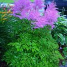 KIMIZA - 25+ ASTILBE CHINENSIS PURPLE AMETHYST COLORED FLOWER SEEDS / PERENNAL