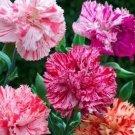 KIMIZA - 30+ CARNATION CHABAUD PICOTEE MIX / PERENNIAL FLOWER SEEDS / GREAT GIFT