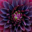 KIMIZA - NEW! BLACK DAHLIA FLOWER SEEDS