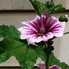 KIMIZA - NEW! 30+ ZEBRA HOLLYHOCK MALVA FLOWER SEEDS / PERENNIAL