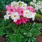 KIMIZA - 25+ INCARVILLEA HARDY GLOXINIA / CREAM & ROSY PURPLE MIX PERENNIAL FLOWER SEEDS