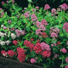 KIMIZA - 40+ JUPITER'S BEARD FLOWER SEEDS /RED,WHITE/PURPLE / PERENNIAL