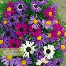 KIMIZA - 50+ BRACHYCOME SPLENDOR MIX FLOWER SEEDS / ANNUAL