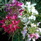 KIMIZA - GIANT QUEEN MIX CLEOME / SPIDER FLOWER SEEDS / PERENNIAL