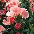 KIMIZA - 50+ SALMON COLOR CLARKIA FLOWER SEEDS / RE-SEEDING ANNUAL / GODETIA