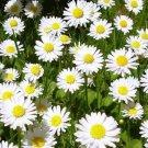 KIMIZA - 100+ WHITE ROMAN CHAMOMILE FLOWER SEEDS / PERENNIAL