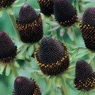 KIMIZA - GIANT 30+ GREEN WIZARD RUDBECKIA FLOWER SEEDS