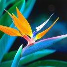 KIMIZA - 10+ STRELITZIA REGINAE BIRD OF PARADISE FLOWER SEEDS