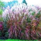 KIMIZA - 30+ MISCANTHUS FLAME GRASS ORNAMENTAL GRASS SEEDS / HARDY PERENNIAL
