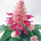KIMIZA - 40+ BURGANDY HALO BI-COLOR SALVIA FLOWER SEEDS PERENNIAL DROUGHT TOLERANT SAGE