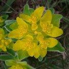 KIMIZA - 30+ EUPHORBIA POLYCHROMA FLOWER SEEDS / PERENNIAL / DROUGHT TOLERANT