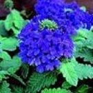 KIMIZA - 35+ VERBENA BLUE LAGOON PERENNIAL FLOWER SEEDS / DEER RESISTANT