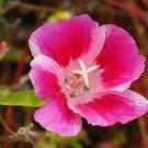 KIMIZA - 50+ PINK BI-COLOR CLARKIA FLOWER SEEDS / RE-SEEDING ANNUAL / GODETIA