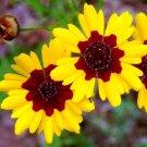 KIMIZA - 50+ COREOPSIS TINCORIA FLOWER SEEDS LONG LASTING, RE-SEEDING ANNUAL