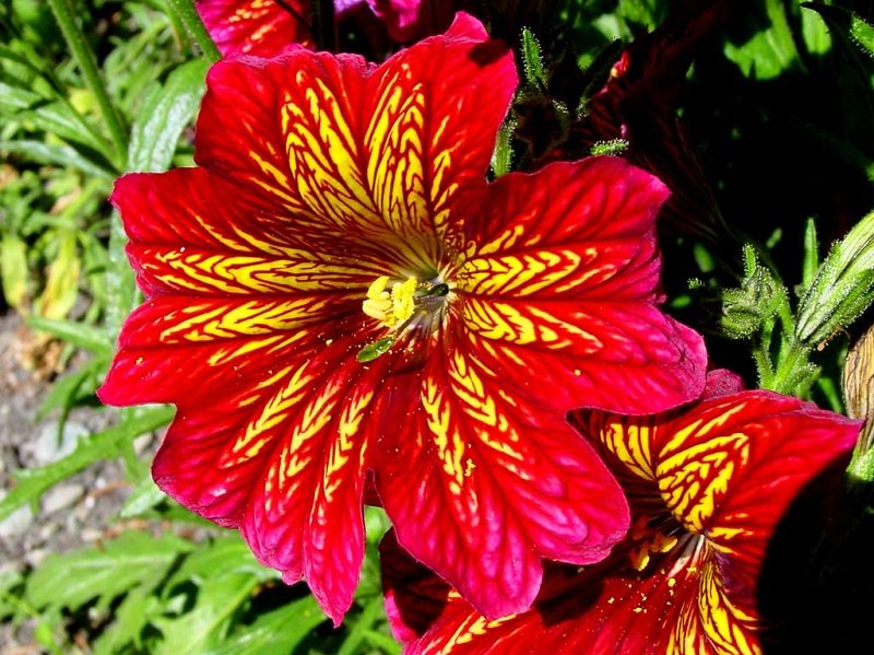 KIMIZA - 20+ RED STAINED-GLASS FLOWER SEEDS / ANNUAL / SALPIGLOSSIS