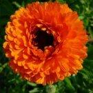 KIMIZA - 40+ DOUBLE CALENDULA NEON ORANGE FLOWER SEEDS / RE-SEEDING ANNUAL
