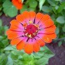 KIMIZA - ZINNIA WHIRLYGIG BI-COLOR FLOWER SEEDS MIX Long Lasting Annual