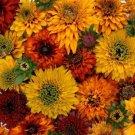 KIMIZA - NEW! 30+ RUDBECKIA MOROCCAN SUN FLOWER SEEDS MIX