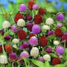 KIMIZA - 40+ GOMPHRENA AUDRAY MIX FLOWER SEEDS / ANNUAL / HEAT & DROUGHT TOLERANT