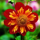 KIMIZA - 35+ MARIGOLD PAPRIKA ANNUAL FLOWER SEEDS