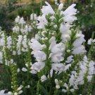 KIMIZA - 40 + White Obedient Plant (False Dragon) Flower Seeds / Perinnial