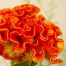 KIMIZA - Orange Colored Cockscomb / Celosia Flower Seeds
