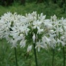 KIMIZA - 25+ AGAPANTHUS WHITE LILY OF THE NILE FLOWER SEEDS / PERENNIAL