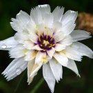 KIMIZA - 30+ WHITE CATANANCHE CUPID'S DART FLOWER SEEDS PERENNIAL