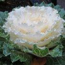 KIMIZA - 30+ WHITE FLOWERING KALE FLOWER SEEDS