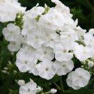 KIMIZA - NEW!! 30+ FRAGRANT BRIGHT WHITE PHLOX FLOWER SEEDS / PERENNIAL