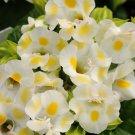 KIMIZA - 20+ LEMON DROP TORENIA WISHBONE FLOWER SEEDS / LONG LASTING ANNUAL