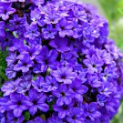 KIMIZA - 50 + Heliotrope Bleu Marine Fleur Seeds / Perfumed Perennial
