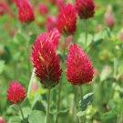 KIMIZA - 100+ Crimson Red Clover Flower Seeds / Perennial / Great Gift