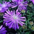 KIMIZA - 50+ ICE PLANT FLOWER SEEDS / PERENNIAL / DELOSPERMA COOPERII