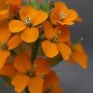 KIMIZA - 50 + Orange Siberian Wall Flower / Erys imum Allionii / Bienn ale / Fragrant