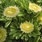KIMIZA - 30+ Amazing Hulk Aster Flower Seeds / Long Life Vase