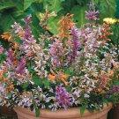 KIMIZA - 30 + Agastache Fragrant Pleasure Flowers Grain Mixture Perennial