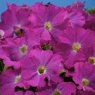 KIMIZA - 40+ ALADDIN NEON PETUNIA GRANDIFLORA FLOWER SEEDS / ANNUAL