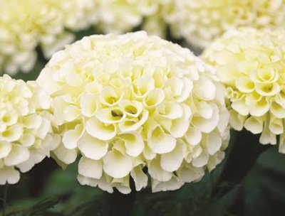 KIMIZA - 35+ AMERICAN MARIGOLD ESKIMO WHITE ANNUAL FLOWER SEEDS