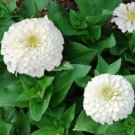 KIMIZA - NEW! 35+ PURE WHITE ZINNIA ELEGANS FLOWER SEEDS ANNUAL