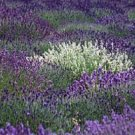 KIMIZA - MOST FRAGRANT! 30+ PURPLE AND WHITE LAVENDER MIX FLOWER SEEDS / PERENNIAL