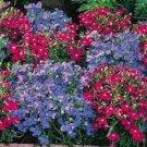 KIMIZA - 50+ LOBELIA REGATTA BLUE/ROSE MIX TRAILING PERENNIAL FLOWER SEEDS