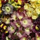 KIMIZA - 30+ VIENNESE WALTZ MIX PRIMROSE PRIMULA FLOWER SEEDS MIX PERENNIAL / SWEET SCENT