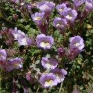 KIMIZA - 30+ ANTIRRHINUM LAVENDER BI-COLOR SNAPDRAGON FLOWER SEEDS / FRAGRANT