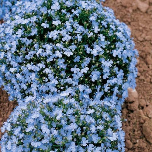 KIMIZA - 60+ WONDERLAND BLUE FRAGRANT ALYSSUM FLOWER SEED PERENNIAL / GROUND COVER