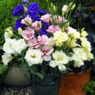 KIMIZA - 20+ PURPLE, PINK AND WHITE MIX LISIANTHUS FLOWER SEEDS / LONG LASTING ANNUAL