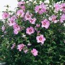KIMIZA - 15 + Rosa Rosa de Sharon Flower Seeds / Hibiscus / Perennial Flowers