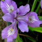 KIMIZA - 20+ OREGAN IRIS / PURPLE AND WHITE / PERENNIAL / FLOWER SEEDS